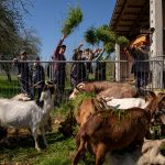 A group of people feeding the goats